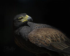 Harris Hawk (J.Hunter Photography) Tags: