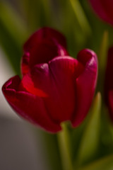 Tulip (Rudi Pauwels) Tags: 2019onephotoeachday tulip flower macro macroflower red green bokeh tamron tamronaf90 tamronspaf90mmf28dimacro nikon d7100 nikond7100