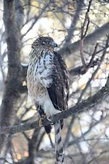 Coopers Hawk (Salamanderdance) Tags: coopershawk audubon nature hawk birdofprey winter cold snow predator