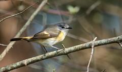 IMG_2086  American Redstart_warbler, female (ashahmtl) Tags: americanredstart bird warbler songbird setophagaruticilla longpointprovincialpark female norfolkcounty ontario canada