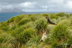""""""" Guardiões  Antártico"""" (JJSantosphoto) Tags: jjsantosphoto jjsantos travel viagem expedição ilhageorgiadosul ilha georgiadosul expediçãoantartida expediçãoantarctica expediçãoantartica antartica antartida antarctica foca focas canoneos1dx canon eos1dx mar oceano agua continenteantartico"""
