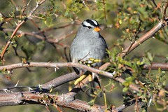 White-Crowned Sparrow (Edhorton) Tags: henderson bird viewing preserve las vegas nevada wildlife pied bille grebe northern flicker yellow shafted mallard cinnamon teal blue winged flycather vermillion says black phoebe ringneck duck verdin spotted towhee