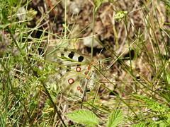 Apollon (Evasion Nature) Tags: nature lepidoptere papillon butterfly apollon parnassiusapollo