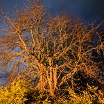 Streetlamp Lit Tree with Night Sight thumbnail