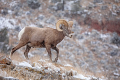 Snow-Ridge Ram... {Explored} (DTT67) Tags: ram bighornsheep 5dmkiv canon wyoming mountains mammal animal nature wildlife