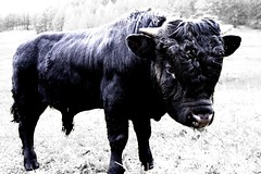 testosterone (Max D. Machy) Tags: forclaz herens cow bull pasture alpine switzerland fightingcow valais calf testosteron