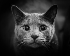 (lamendez1983) Tags: paws gato furry kittens kitty wildanimals flickr animals pounce whiskers purr allrightsreserved blackandwhite russianblue cat