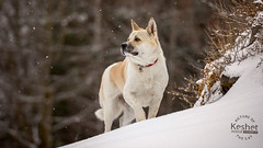Picture of the Day (Keshet Kennels & Rescue) Tags: adoption dog ottawa ontario canada keshet large breed dogs animal animals pet pets field nature photography best friends play winter snow american akita hill walk observe snowflake snowfall