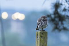 Chevêche d'Athéna (Richard Holding) Tags: athenenoctua bird chevechedathena chevêche chouette eure m43 nature normandie normandy oiseau olympus omd owl owlet rapace wildlife
