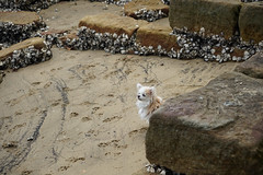 20190113-DSC01133 (PM Clark) Tags: pure bred chihuahua inner west park beach