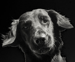 Are you in there? (Riversongfcr) Tags: 119in2019 flatcoatedretriever comical blackandwhite