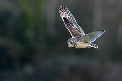 It's an oldie, but hopefully a goodie (irelaia) Tags: short eared owl archive flight nice light wild bird