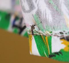 Aedes aegypti (Yellow Fever Mosquito) (Mosquito Addict) Tags: aedes aegypti mosquito tiger yellow fever dengue zika chikungunya virus diptera philippines female disease vector