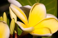 Flashing yellow (.Stephen..Brennan.) Tags: dfa100 flowers pentaxk3 perth westernaustralia australia au 100mm