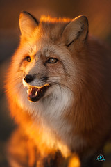 Red Fox (Andreas Krappweis - thanks for 3 million views!) Tags: redfox vulpesvulpes sitting sunset backlit rimlight looking forest attentive nature winter fur red orange cute golden nikonafi400mm128d nikond700
