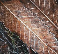 F r o s t e d L e a f (Cᴇʟɪᴀ'Gʀᴀᴘʜʏ) Tags: sonydsch1 sonycybershot shot camera capture picture photo photographie nature winter leaf frost snow orange grass