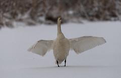 Swan,Cold Winter (Tonny Janglöv) Tags: bird swan winter snow wings