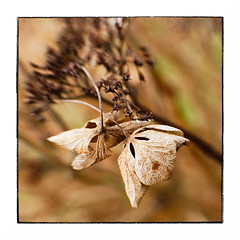 More Dead Flowers (Alex . Wendes) Tags: hydrangea macro lensbaby flower deadpetals deadflowers flowermacro lensbabycomposor sweet35 sweet35optic 12mmextensiontube f56 d7000 nikond7000 brown