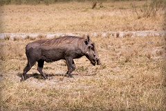 "The Face only the Mother could Love _5521 (hkoons) Tags: chobenationalpark firstbridge magweegate mbomaisland southernafrica thirdbridge africa botswana magwee animal beast mammal oink outdoors photography pig piglets pork warthog wildlife ""moremigamereserve"
