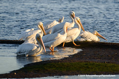 American White Pelican (Pelecanus erythrorhynchos), adult nonbreeding DSC_4570 (fotosynthesys) Tags: americanwhitepelican pelecanuserythrorhynchos pelican pelecanidae bird california unitedstates