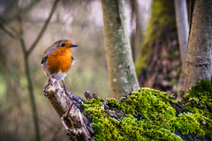 Farewell Robin (Ian Livesey) Tags: 20190310 leightonmoss places robin birds rspb feathers nature