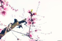 A flower (gusdiaz) Tags: flowers blossoms peach trees bokeh bokehlicious fuji fujifilm xt2 beautiufl warm pink primavera spring springlike blooms flores petalos petals branches ramas depthoffield