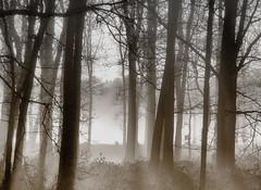 Misty morning (Duevel) Tags: trees misty morning mist nevel bos sx50