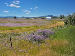 Field of Vetch and Barn 9444 D (jim.choate59) Tags: jchoate on1pics vetch field summer fence rural barn scenic landscape grass sky rx100 hff