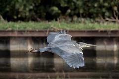 Flight of fancy or fancy flight (Paul Wrights Reserved) Tags: heroninflight heron herons flight inflight bird birding birds birdphotography birdwatching birdinflight