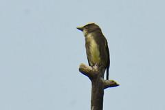 Olive-sided Flycatcher (Contopus cooperi) (R-Gasman) Tags: travel bird olivesidedflycatcher contopuscooperi inglewoodbirdsanctuary calgary alberta canada