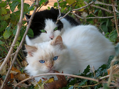 IMG_1415 blue eyes and green eyes (pinktigger) Tags: cat cats gatto gatti katze chat cute pet stray couple