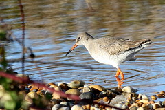 Redshank-7D2_0562-001 (cherrytree54) Tags: redshank rye harbour east sussex canon sigma 7d 150600