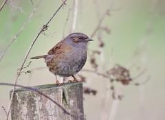 Dunnock (Alan McCluskie) Tags: dunnock hedgesparrow prunellamodularis passerine hedgerow birds nature wildlife canon7dmk2 sigma150600mmsp