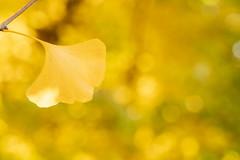 autunm color (giogio_u) Tags: autunmtint autunm red yellow ginkgo leaf