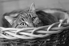 Kater Berti (Jana`s pics) Tags: kater katze cat haustier hauskatze pet animal tier feline schwarzweiss monochrom blackandwhite monochrome augen blick eyes korb basket körbchen verstecken hide hidden versteckt