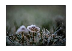 Frozen (Willy 1943) Tags: winter mushroom little garden