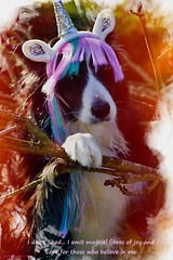 I don't Shed, I emit magical fibres of Love (ASHA THE BORDER COLLiE) Tags: unicorn mythical magical border collie love ashathestarofcountydown connie kells county down photography