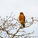 Red-Shouldered Hawk at 40 Acre Lake