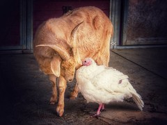 Best Friends (suzeesusie) Tags: goat turkey barn farm rescued vegan love friendship edit animals sanctuary