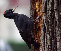 a Black Woodpecker / un pic noir (Franck Zumella) Tags: bird oiseau black noir woodpecker trunck tronc food nourriture wildlife sauvage vie nature animal pic tree arbre strike frapper