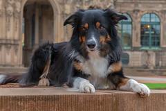 Ready (Flemming Andersen) Tags: dog bordercollie yatzy pet animal dresden saxony germany de