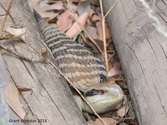 Eastern Blue-tongued Lizard (Tiliqua scincoides scincoides) (All Environmental and Conservation Services) Tags: eastern bluetongued blue tounge lizard skink tiliqua scincoides scincidae reptile sydney hornsby new south wales australia