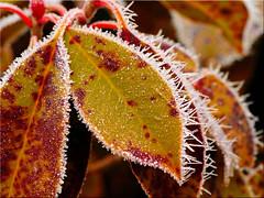 Frosty leaves (Ostseetroll) Tags: deu deutschland geo:lat=5403901381 geo:lon=1068879162 geotagged pönitzamsee scharbeutz schleswigholstein frost blätter winter makroaufnahme frosty leaves macrocapture olympus em5markii