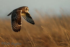 Short-eared Owl (markandruth.photos) Tags: owl short eared winter bird wildlife photography nature canon canonuk canonphotography cotswolds flight flying feathers prey animal