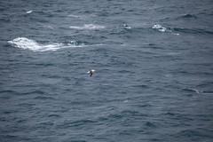 IMG_0211 (y.awanohara) Tags: humpbacks humpbackwhales whales whale southgeorgia scotiasea january2019 wildlife cetacean