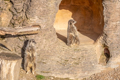 SBFox (Chiltern Snappers) Tags: animals alligator birds butterfly camel crow deer elephantasian fallowdeer giraffe gull huntingdogs lapwing lion mara meercats raptors redkite redriverhogs tigeramur walverine