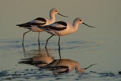 American Avocet 1729 (maguire33@verizon.net) Tags: americanavocet bolsachica bolsachicaecologicalreserve recurvirostraamericana avocet bird wetlands wildlife