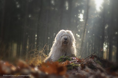 Sophie Autumn walk (dewollewei) Tags: autumn fall rays light dog oes bobtail dewollewei sophieensarah beauty hond hunde morning forest woods