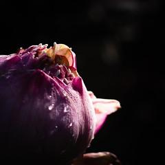 Bunga samping rumah (Regina Brigitta) Tags: bunga darkphoto darkphotography flower nature naturephotograhy water indonesia bogor macrophotography colours