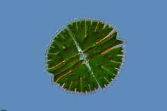 LAS ISLAS OLVIDADAS, MICRASTERIAS, UN REFUGIO EN LA MONTAÑA, TURBERAS DE PEÑA YERRE (SOBRE LAS MENTIRAS ACERCA DEL LAGUNILLO DE LAS CARDENILLAS) (PROYECTO AGUA** /** WATER PROJECT) Tags: taxonomy:kingdom=plantae taxonomy:class=chlorophyceae taxonomy:order=zygnematales taxonomy:family=desmidiaceae taxonomy:genus=micrasterias taxonomy:binomial=micrasteriasrotata taxonomy:species=rotata desmids désmidos conjugate conjugadas desmidiaceae pondlife microscopy proyectoagua iesescultordaniel antonioguillén spain fotografíamicroscópica fotografíasmicroscópicas photomicrography microphotography imágenesmicroscópicas microorganismos vidaoculta lavidaocultadelagua vidaocultadelagua thelifehiddenofthewater micrasterias micrasteriasrotata trampales peñayerre lumbreas larioja biodiversidadvirtual